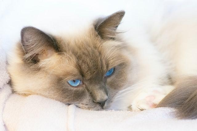 ¿Tu gato tiene dolor?  ¡Reconoce estos signos y síntomas!