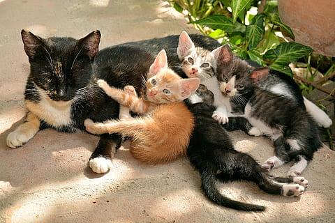 Cómo presentar a un gatito huérfano a una madre adoptiva