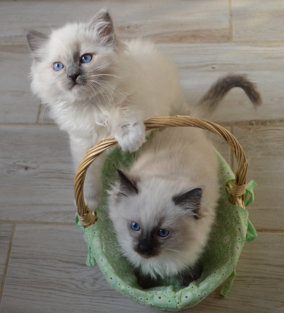 5 cosas a tener en cuenta al comprar un gatito Ragdoll