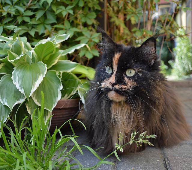 La comida adecuada para alimentar a los gatos y gatitos Ragdoll