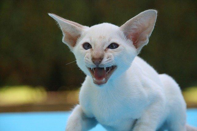 Razones por las que los gatitos son agresivos