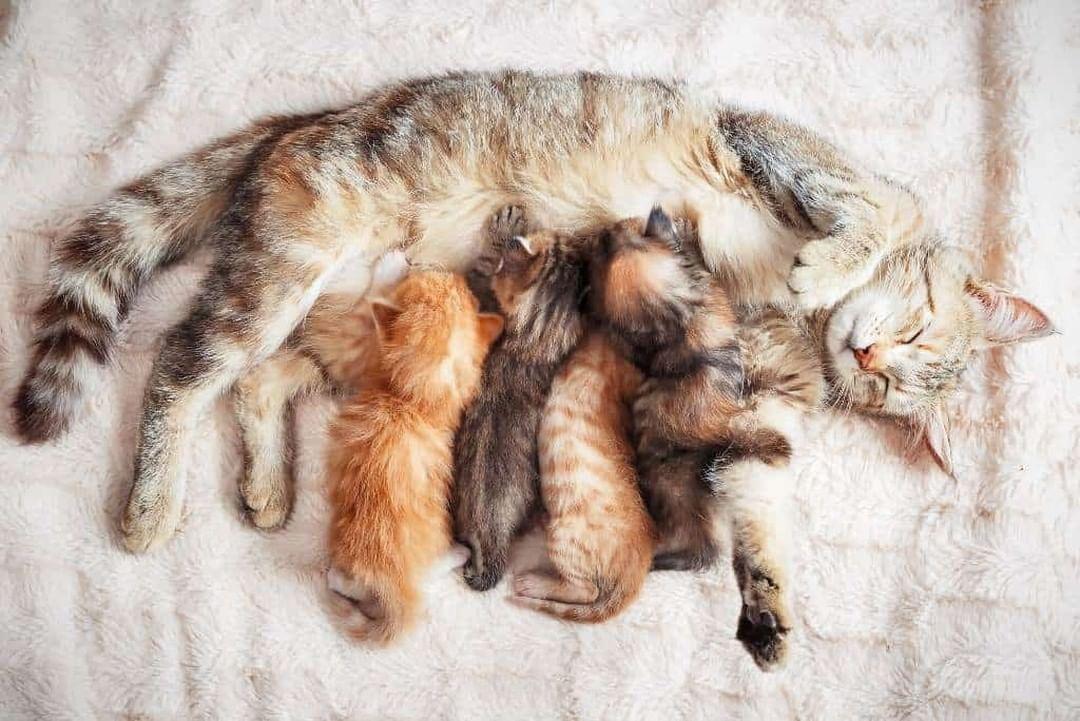 Cómo saber si tu gata está embarazada