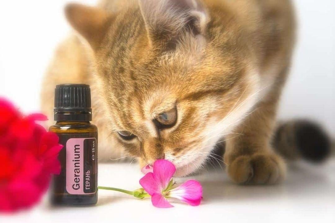 ¿Son eficaces y seguros los aceites para pulgas en gatos?