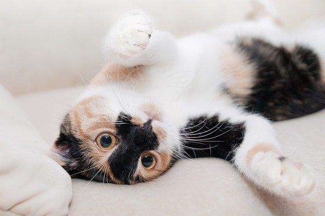 Sexo de gatito