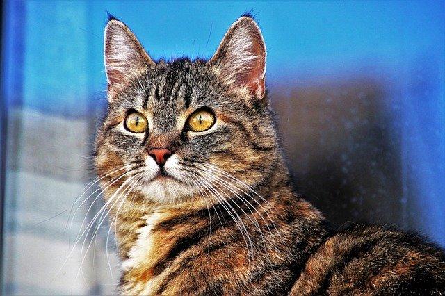 Mantén las orejas de tu gato en plena forma