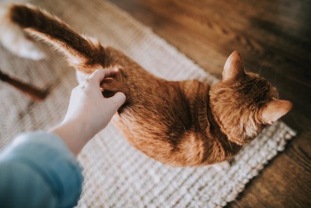 Cómo detectar una cola de gato rota y otras lesiones en la cola
