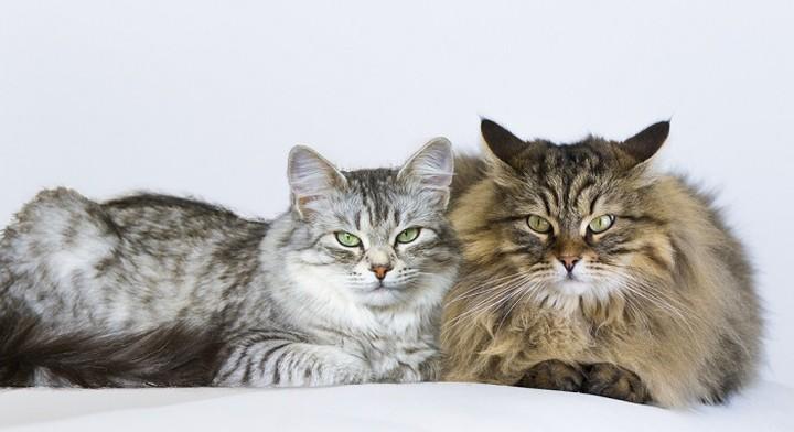 Guía para conocer el sexo de un gato