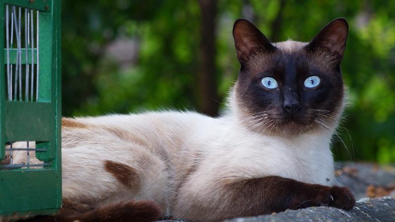 El maravilloso gato siamés