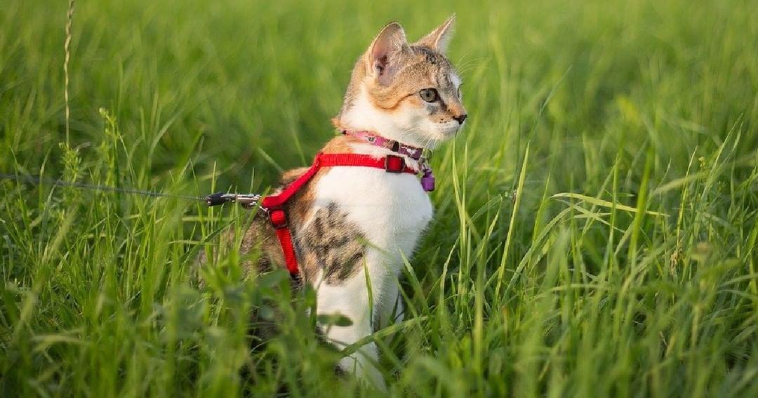 A lo que debes estar atento cuando paseas a tu gato con correa