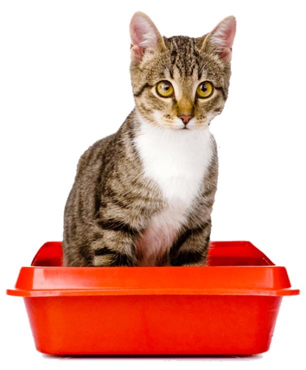 ¿Cuánto tiempo puede pasar un gato sin orinar?