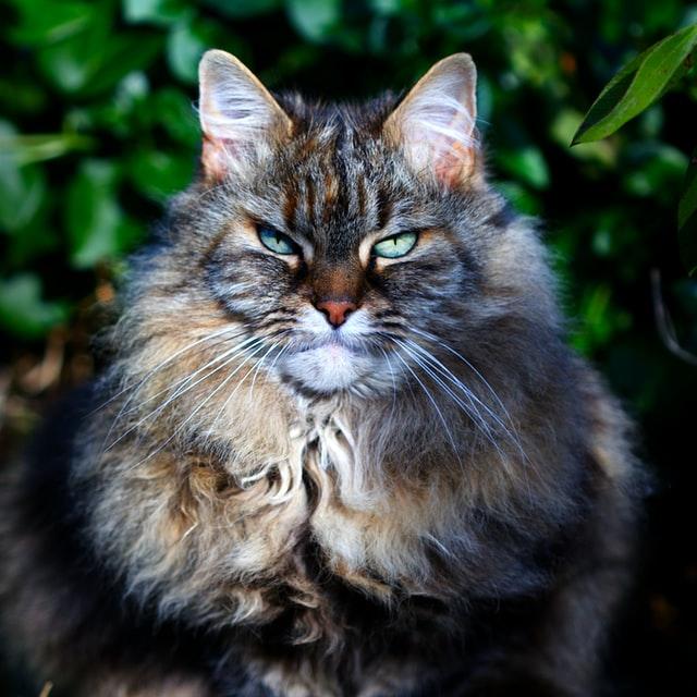 21 razas de gatos raras y únicas que debes conocer