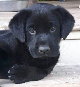 black Labrador Retriever puppy | Club Mead Labradors