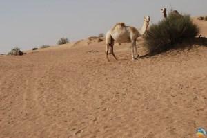 Pustynne Safari na wielbłądzie