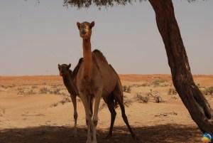 Pustynne Safari w Dubaju