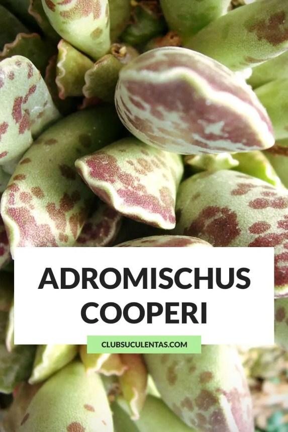 adromischus cooperi suculenta
