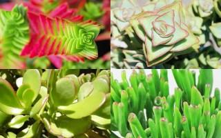 crassula plantas suculentas