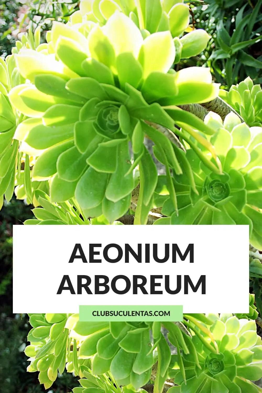 aeonium arboreum suculentas