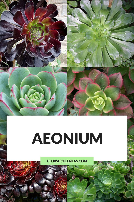 aeonium suculentas