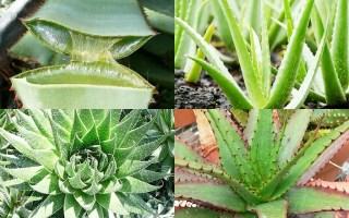 genero aloe plantas suculentas