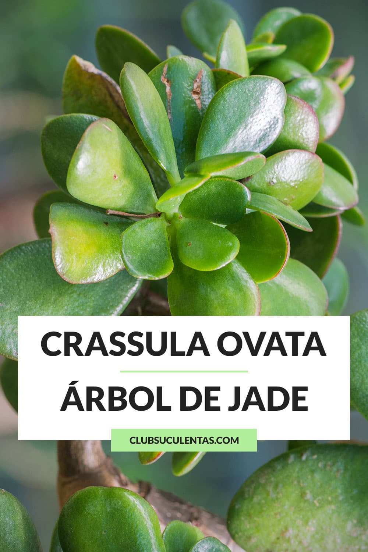 crassula ovata arbol de jade suculenta