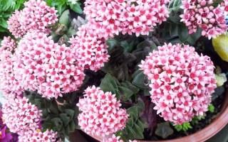 crassula springtime