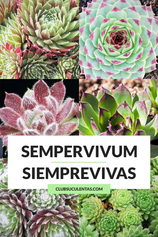 sempervivum siemprevivas suculentas
