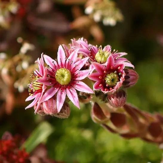 sempervivum tectorum flor