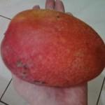 台湾のマンゴーの主な種類と特徴|美味しい芒果の時期はいつ?