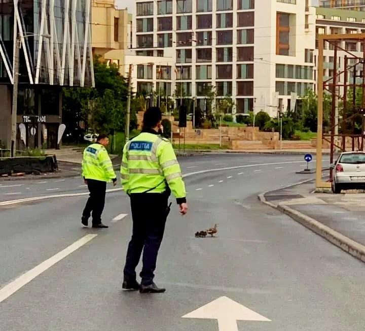 Imaginile zilei la Cluj: o raţă şi bobocii ei au fost ajutaţi de poliţiştii clujeni să treacă strada