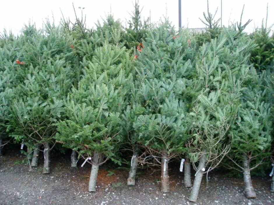 Brazii de Crăciun vor fi colectaţi gratuit în Cluj-Napoca