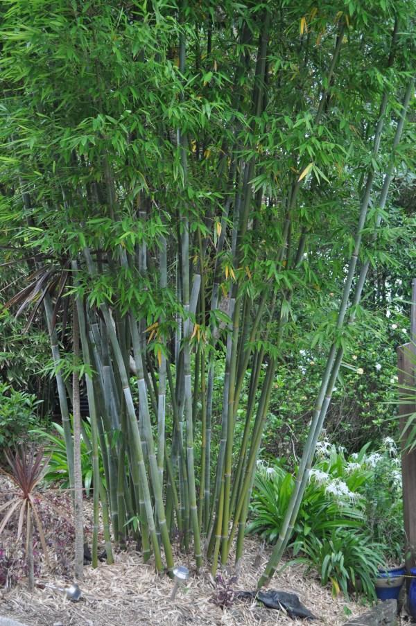 chungii bamboo bambusa