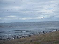 Hundreds of birds on Isla Magdalena