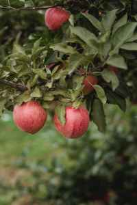 ripe apples on lush tree branch