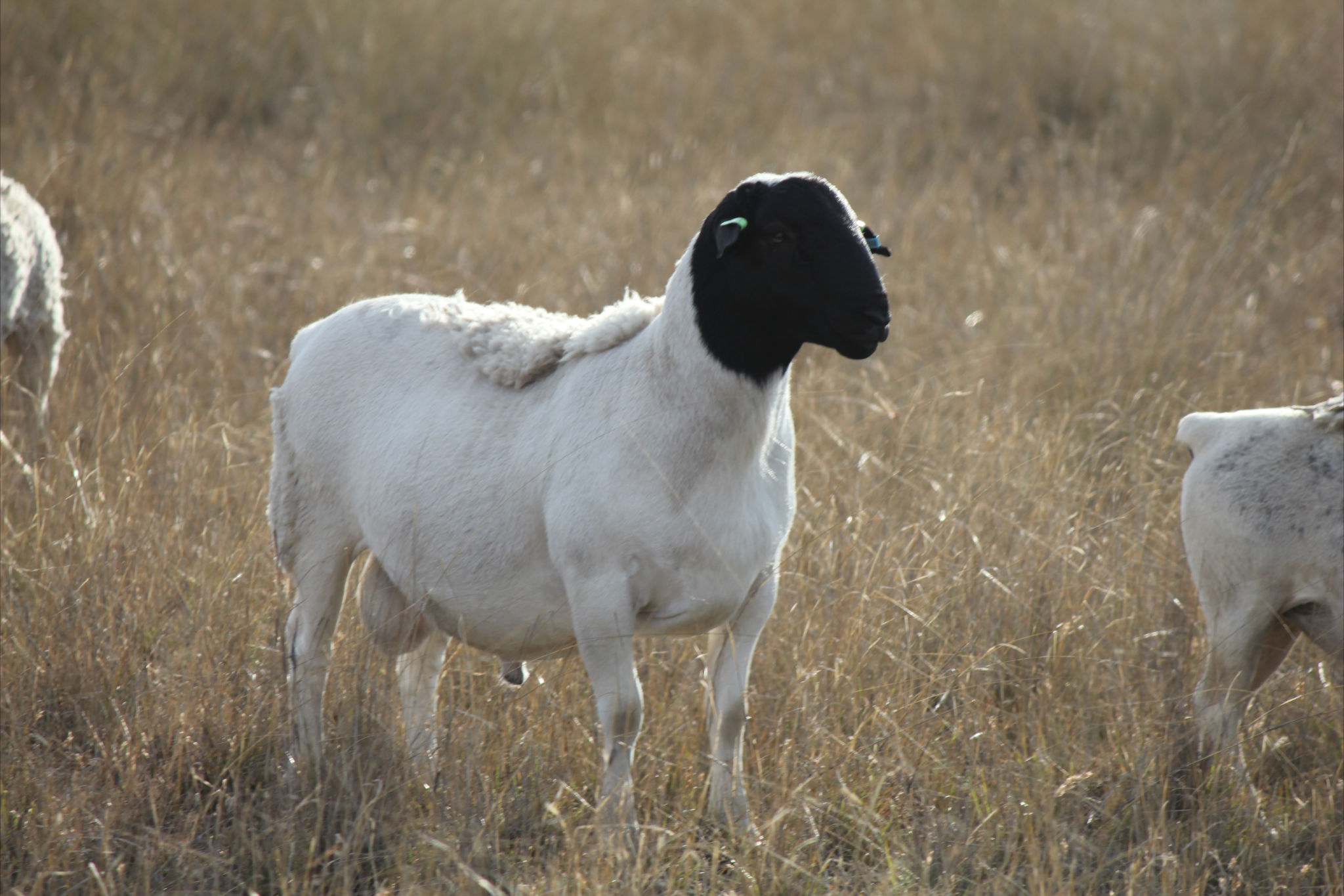 australian dorper sheep  u2013 cluny livestock exports pty ltd
