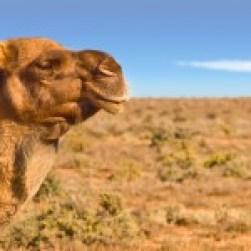 CAMEL SLIDER 2