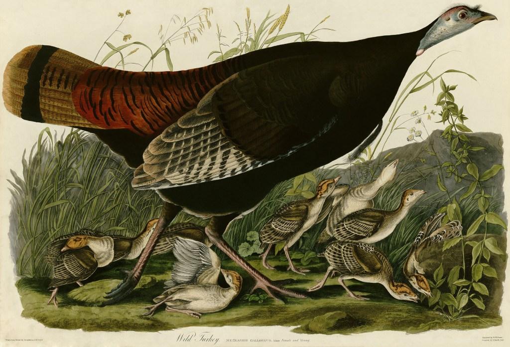 Wild_Turkey_(Audubon)
