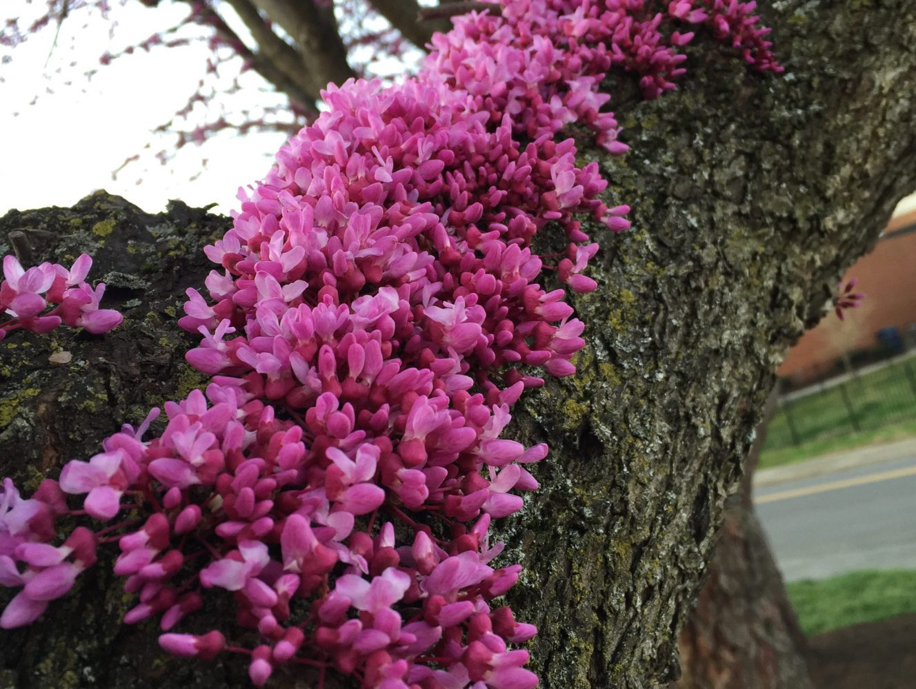 Pink flowers growing up a tree
