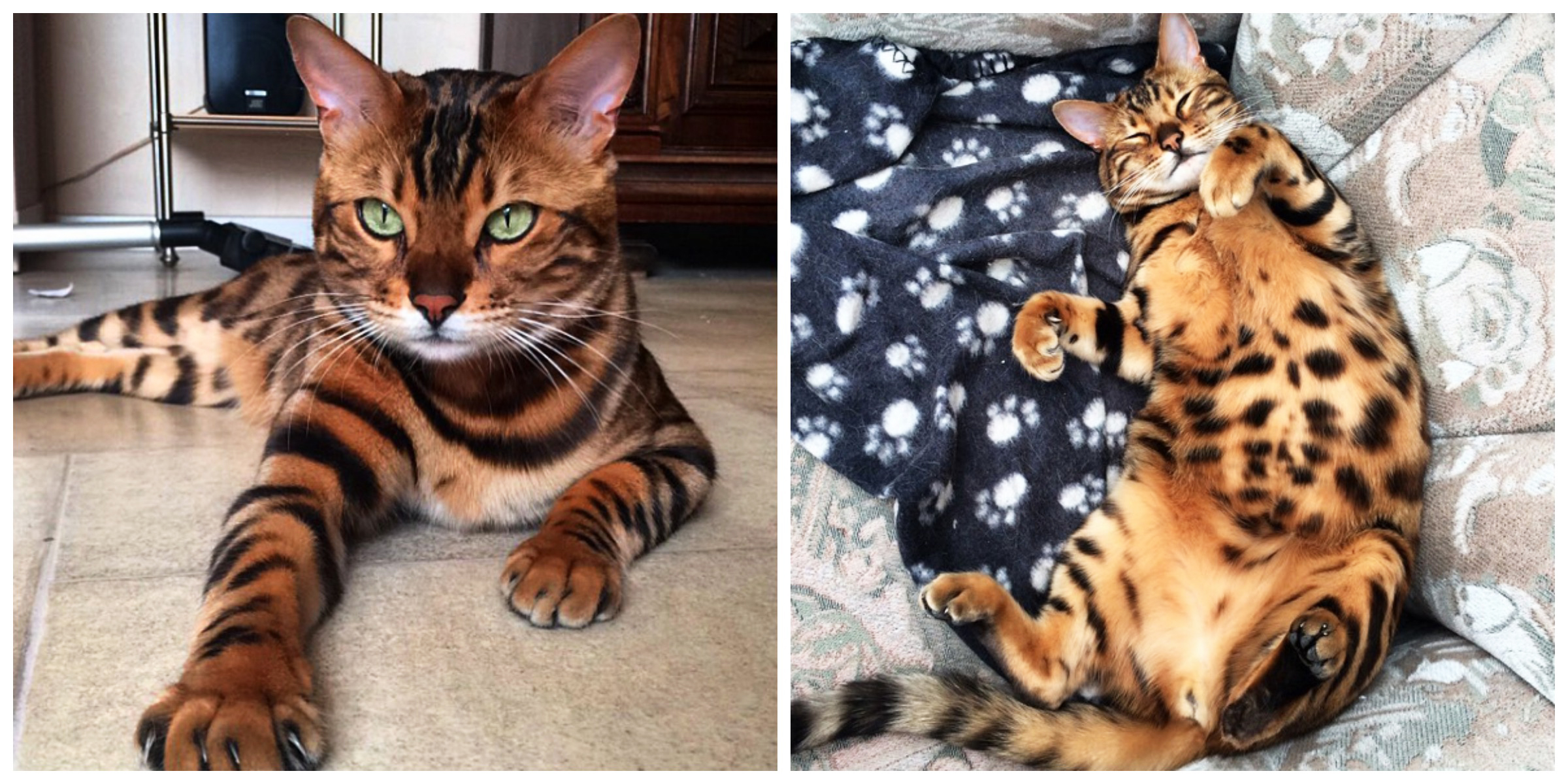 Thor The Bengal Cat Cats Of Instagram