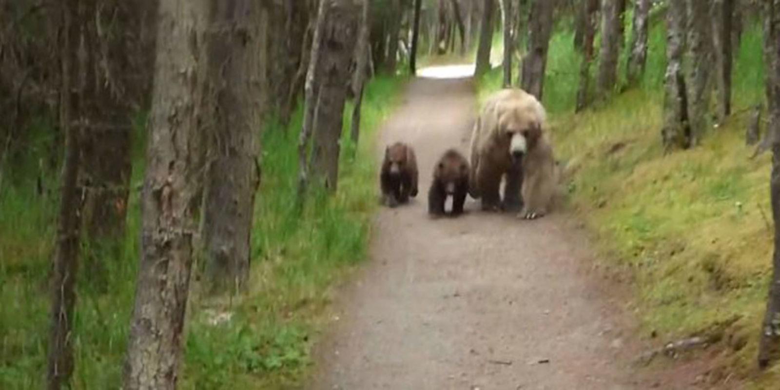 Grizzly Bears Follow Hiker  What to Do if a Bear Follows You