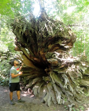what a giant stump! there was a tree growing out of it!