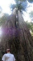 two redwoods grown together