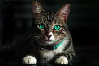 animal hospital clyde cat
