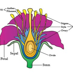 Monocot Root Cross Section Diagram Wiring Multiple Lights And Switches On One Circuit The Structure Of Flowering Plants