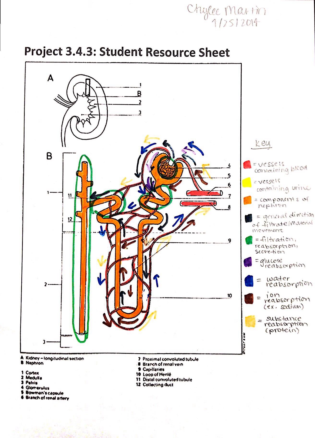 Kidney Diagram Worksheet
