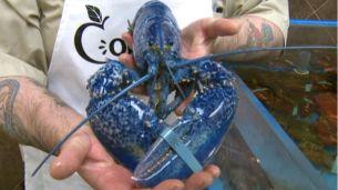 hi-blue-lobster-wide-20130613