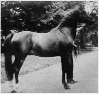 ANAZEH 235 foaled 1890 by *Leopard out of *Naomi, bred by Randolph Huntington. This horse was 15 1/2 hands.