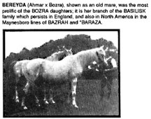 BEREYDA (Ahmar x Bozra), shown as an old mare, was the most prolific of the BOZRA daughters; it is her branch of the BASILISK family which persists in England, and also in North America in the Maynesboro lines of BAZRAH and *BARAZA.