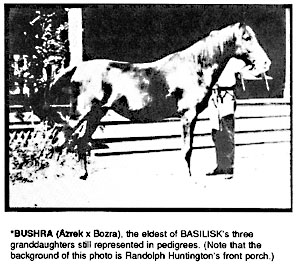BUSHRA (Azrek x Bozra), the eldest of BASILISK's three granddaughters still represented in pedigrees. (Note that the background of this photo is Randolph Huntington's front porch.)