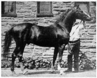 CLAY KISMET [at 4 years of age] by *NIMR 232 and out of a mare called GYPSY CLAY, six times in-bred to HENRY CLAY foaled 1895, photo taken 1899. This horse was sixteen and one quarter (16 1/4) hands. Bred, raised and owned by Randolph Huntington. This was the Clay-Arab cross that Mr. Huntington wished feature.