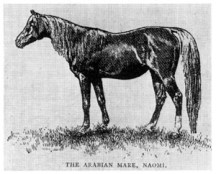Naomi No. 230, red chestnut Arabian mare, 15-2 hands, foaled in 1877, bred by Rev. F. Vidal in England, was produced by a full brother-and-sister mating, by the desert-bred sire, Yataghan (15 hands) and the desert-bred dam Haidee (14-3 hands). Naomi, bred to her grandson Nimr, produced Khaled.